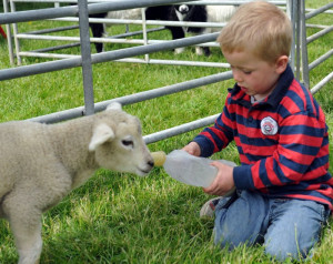 Mullingar International Horse Show - Feeding the pet lamb